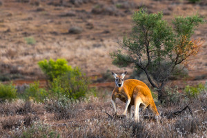 Kangaroo in the Flinders Ranges, South Australia