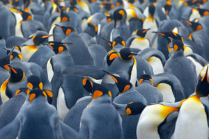 King penguin colony. Many birds together, in Falkland Islands. Wildlife scene from nature. Animal behaviour in Antarctica. Penguin nesting colony. Art view on nature. Penguins group in nature habitat.