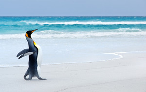 King Penguin on the beach at Volunteer Point - Falkland Islands