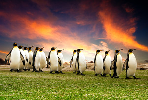 King Penguins in the Falkland Islands