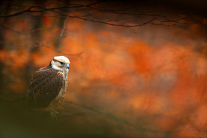 Lanner Falcon, Falco biarmicus, bird of prey sitting on the stone, orange habitat in the autumn forest, rare animal, France