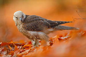 Lanner Falcon, rare bird of prey with orange leaves branch in autumn forest, Spain