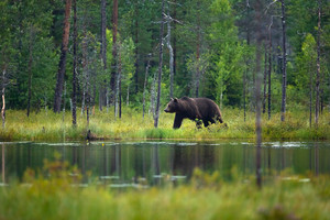 Large adult brown bear walking in the forest