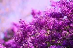 lilac bush against sky in the garden
