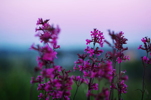 lilac flowers in field in evening