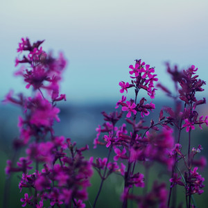 lilac meadow flowers in evening on blue sky background