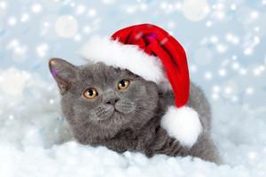 Little Blue British Shorthair kitten wearing Santa hat