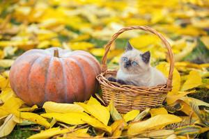 Little kitten sitting in a basket near big pumpkin. Kitten sitting in a garden on fallen yellow leaves in autumn