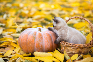 Little kitten sitting in a basket near big pumpkin. Kitten sitting in a garden on fallen yellow leaves in autumn