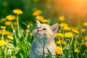 Little kitten walking in dandelion lawn