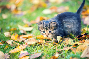 Little kitten walking outdoor on the fallen leaves in autumn garden