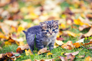 Little kitten walking outdoor on the fallen leaves in autumn garden