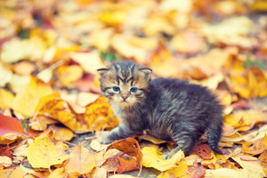 Little kitten walking outdoors on the fallen leaves in autumn garden
