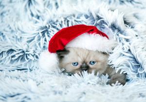 Little kitten wearing Santa Claus hat