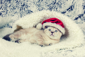 Little kitten wearing Santa hat lying on blue blanket