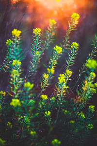 little yellow wild meadow beautiful spring flowers on nature vintage colorful dark tonned background. Outdoor fresh photo on bright sunshine in evening