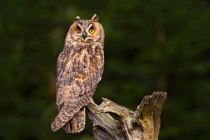 Long-eared Owl sitting on the branch in the fallen larch forest during dark day. Owl hidden in the forest. Wildlife scene from the nature habitat. Bird on the spruce tree. Christmas with owl.