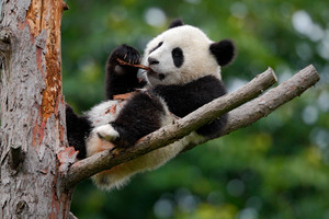 Lying cute young Giant Panda feeding feeding bark of tree