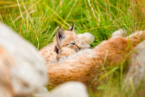 Lynx mother Resting With Cute Cubs on the Grass At Forest