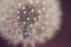 macro dandelion. Nature spring closeup photo