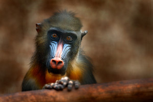 Mandrill, Mandrillus sphinx, primate monkey, sitting on tree branch in dark tropic forest. Animal in nature habitat, in forest. Detail portrait of monkey from central Africa, forest in Gabon.