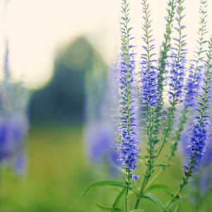 many blue meadow tall flowers in green field. Nature vintage fresh background