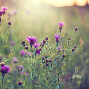 many little pink flowers in green grass in field. Fresh early morning natural background