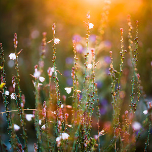 many little wite wild meadow beautiful spring flowers on nature vintage colorful dark tonned background. Outdoor fresh photo on bright sunshine in evening