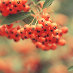 Many orange berries on tree branch in forest. Nature