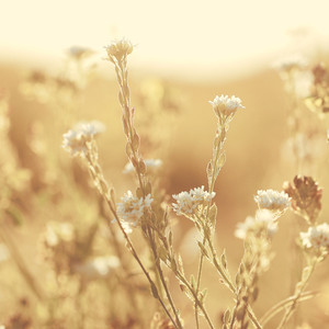 many white flowers on yellow background. Vintage evening field natural background