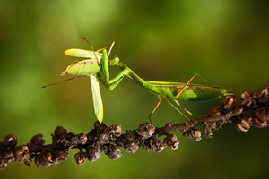 Matins eating mantis, two green insect praying mantis on flower, Mantis religiosa, action scene, Czech republic