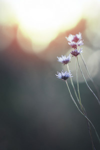 Meadow flowers. Blue meadow plants on sunset background. Nature