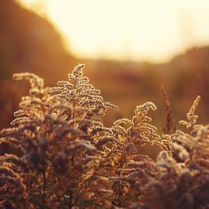 meadow grass in evening orange sunlight. Autumn natural vintage background