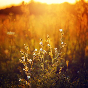 meadow wild white flowers in field at sunrise. Nature vintage background