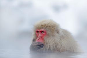 Monkey Japanese macaque, Macaca fuscata, red face portrait in the cold water with fog and snow, hand in front of muzzle, animal in the nature habitat, Hokkaido, Japan