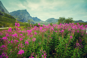 Mountain landscape. Rocky skyline, blue cloudy sky, and blossoming pink flowers. Beautiful nature Norway.