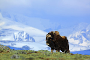 Musk Ox, Ovibos moschatus, with mountain and snow in the background, big animal in the nature habitat, Greenland