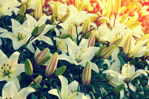 Natural flower background. Vintage lily flowers.