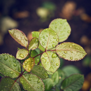 Nature. Drops on leaves. Water, dew