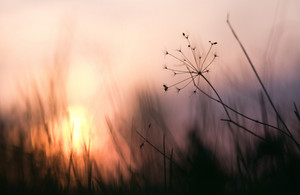 Nature. Dry beautinful flowers plants in field in sunset