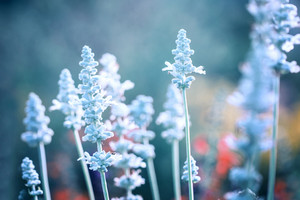 Nature. Flowers with cold blue colors