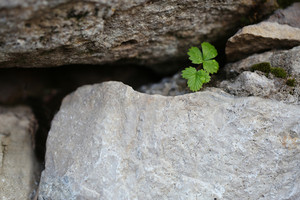 Nature. Green plant in gray rock wall of stones