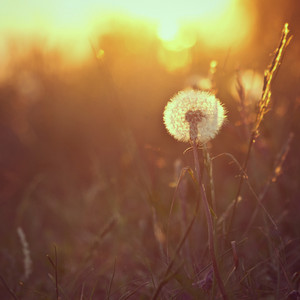 Nature. Meadow dandelion in field at sunshine