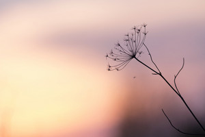 Nature. Meadow plant flower at sunset
