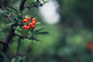 Nature. Orange berries in tree. Outdoor forest