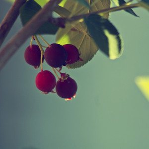 Nature red berries. Green leaves vintage