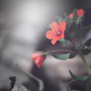 Nature. Red flower macro photo