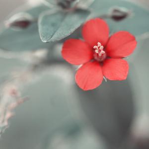 Nature. Red vintage flower