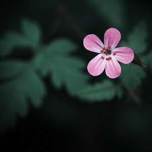 Nature. Spring pink flower on dark green background
