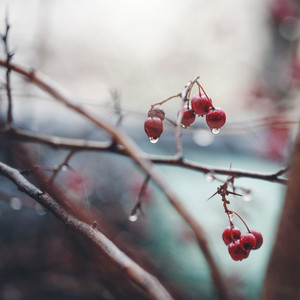 Nature spring. Red berries with drops of water